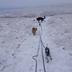 dog walks on moorland